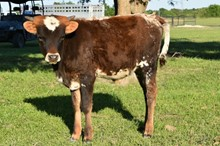 704 Unnamed Steer