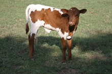 Allens Dark Cherry x Tejas Star - B-Calf - Tag 823