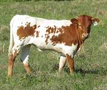 Unnamed Heifer (Music Man BCB x Easy Breezy BCB)