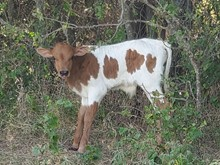 CR JUST FROSTED CHEX BULL CALF