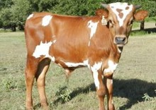 Cowboy Chex x Rio Beautiful bull calf