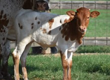 RJF Miss Kitty X Tuff Chex - H Calf -022