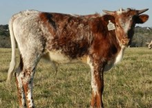Tumbling Dice x Top Empress bull calf