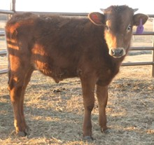 Unnamed Bull Calf 8